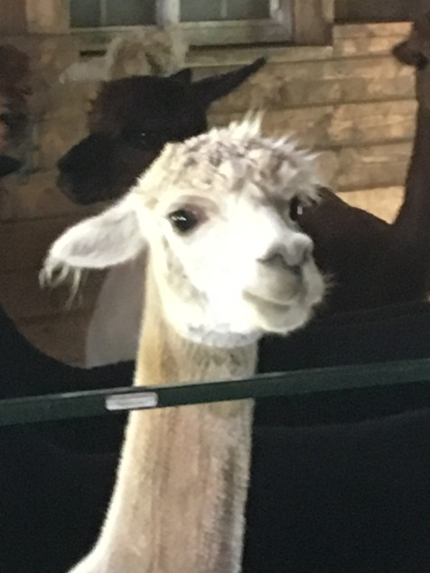 alpacas4