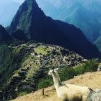 Llama looking over Machu Picchu